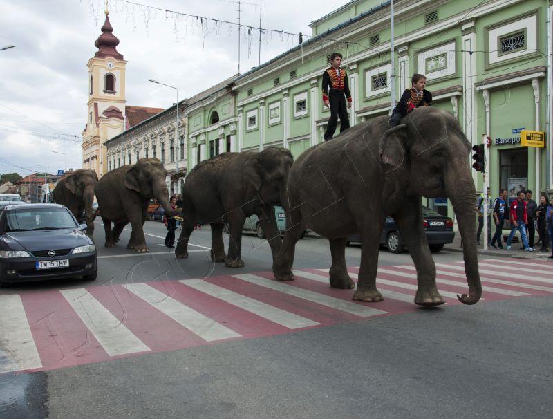 parada elefantilor prin lugoj 2013 lugojeanul foto (13)