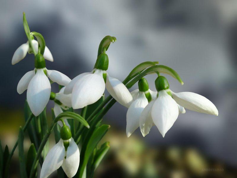 ghiocei-snowdrops